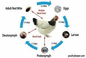 Chicken Mite Lifecycle