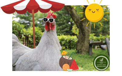 🌞Summers coming, your chooks can get dehydrated too…
