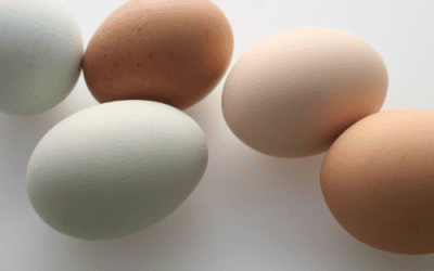 Which chickens lay coloured eggs?