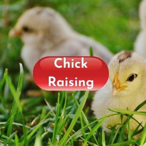 chick raising