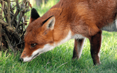 How to fox proof the chicken coop