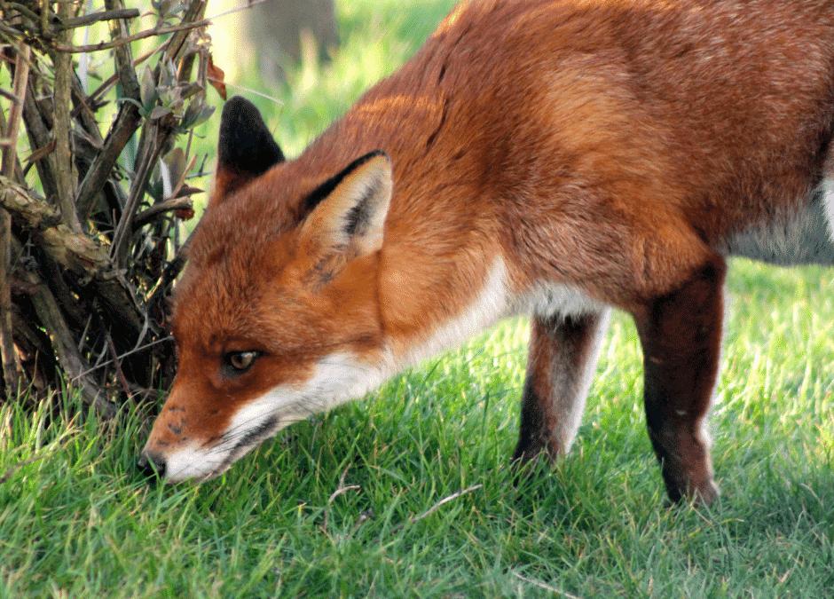 how to fox proof the chicken coop (1)