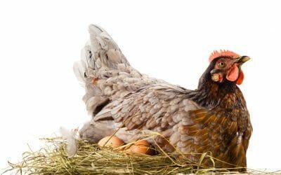 """How to """"break"""" a broody hen"""